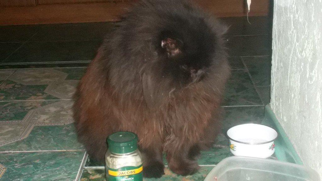 Можно ли подстригать персидского кота