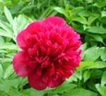 Пион — король летнего сада, какие бывают пионы?