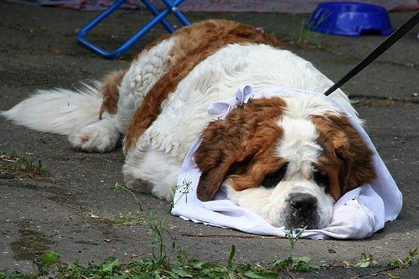 Преимущества большой лохматой собаки сенбернар