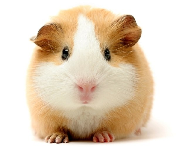 Морскую свинку или хомячка купить ребенку