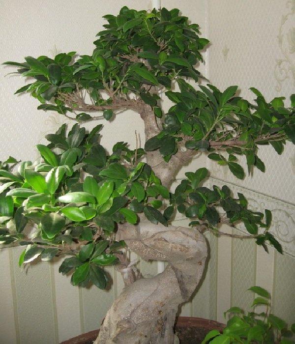 домашние растения уход за фикусами в домашних условиях