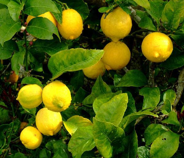 Самые полезные продукты питания - лимон