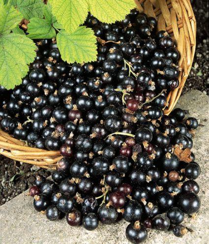 Самые полезные продукты питания - черная смородина