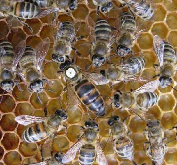 Пчелиная матка – королева колонии