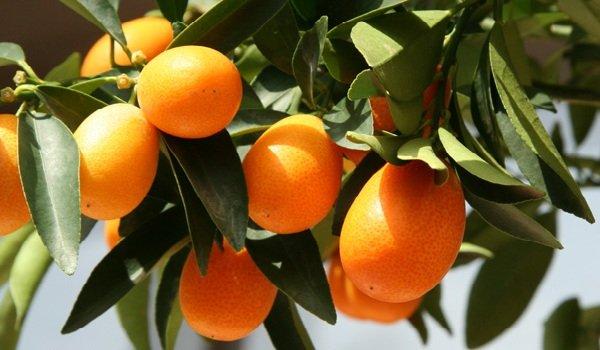 Самые полезные фрукты, овощи и ягоды зимой - Кумкваты.