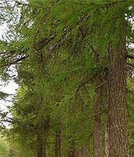Преимущества сибирской лиственницы
