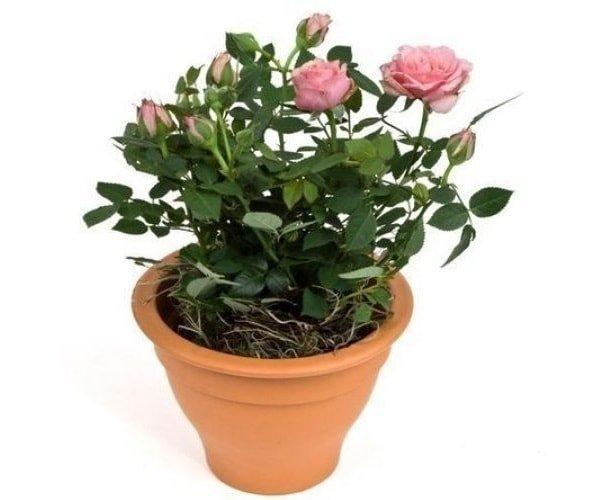Как дома вырастить розу