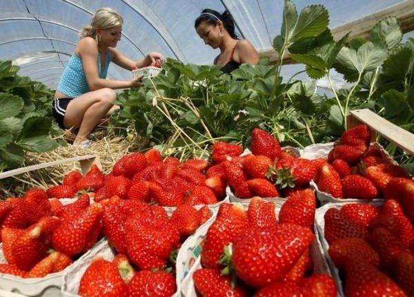 Выращивание клубники как бизнес идея