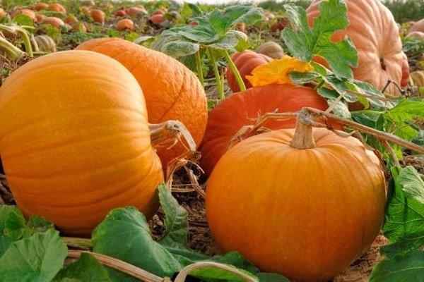 Полезные свойства тыквы для здоровья всей семьи