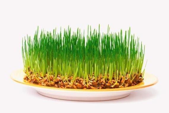 Пророщенная пшеница – польза и как выращивать