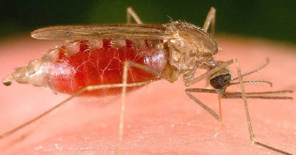 Какие болезни переносят комары и симптомы инфекций
