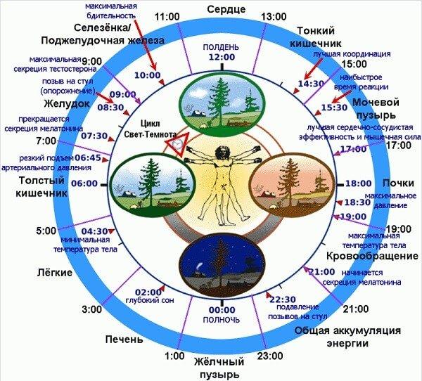 Биологические часы человека на 24часа