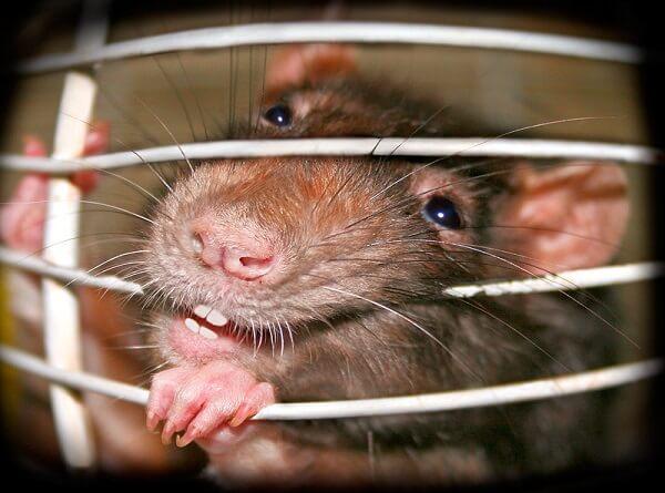 Крыса милая, зубки белые.