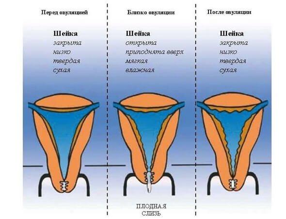 skolko-vremeni-trebuetsya-dlya-vozvrata-uprugosti-vlagalisha