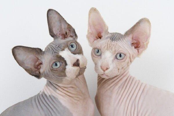 Самые ласковые породы кошек для детей Сфинкс.