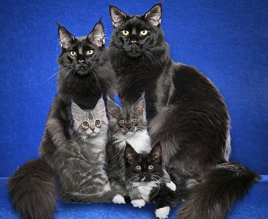 Самые ласковые породы кошек Мейн-Кун.