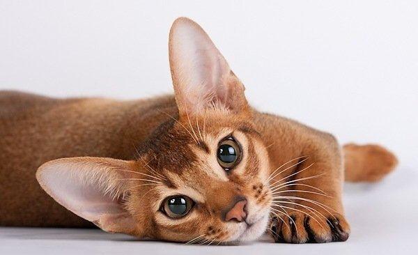 Абиссинский кот.