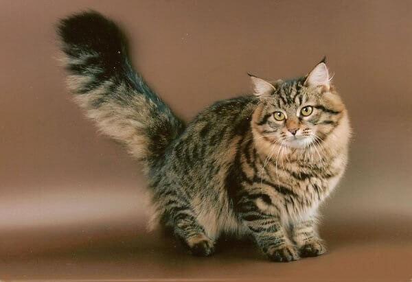 Сибирский кот.