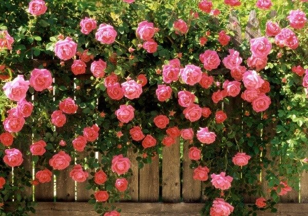 Как вырастить розы из осенних черенков?