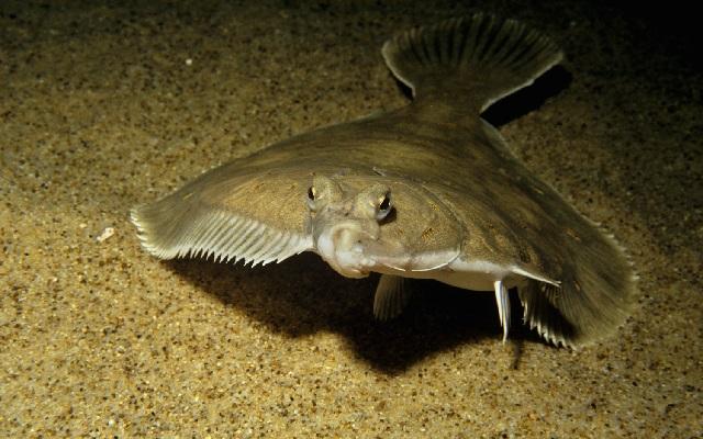 Какая рыба самая полезная – камбала.