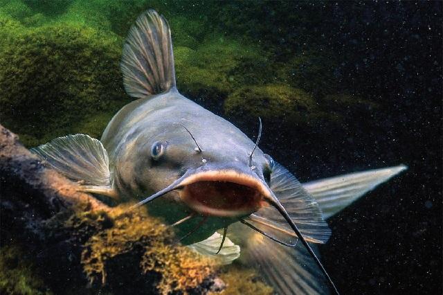 Какая рыба самая полезная – сом.