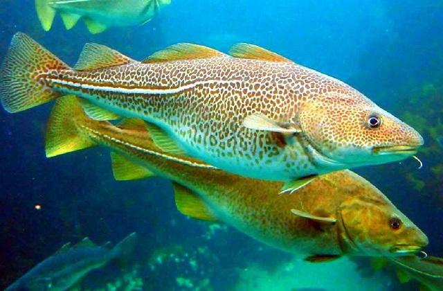 Какая рыба самая полезная – треска.