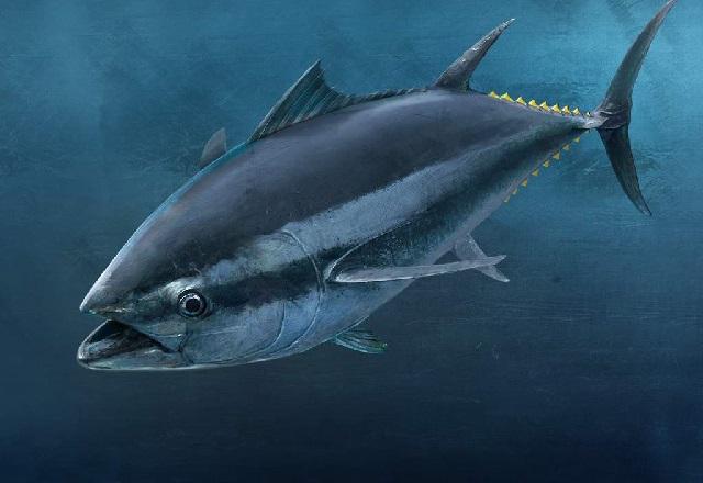 Какая рыба самая полезная – тунец.